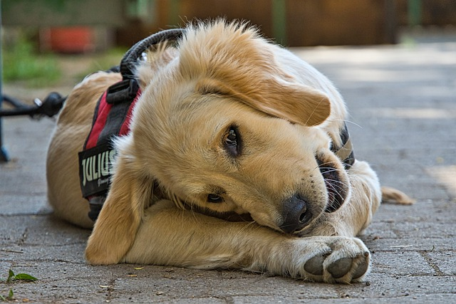 All that glitters is Golden Retriever   Dogs Quiz