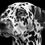 Get your Happy Spots in Life: Take the Dalmatian Dog Quiz