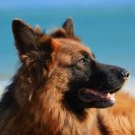 German Shepherd Trivia  | Dogs Quiz