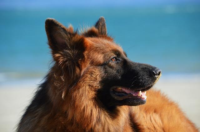 German Shepherd Trivia  | Dogs Quiz
