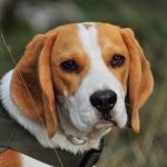 Beagles Up! The Ultimate Beagle Dog Quiz