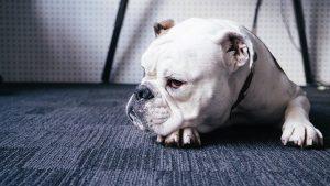 Bulldog quiz