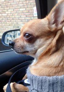 Chihuahua Dog Quiz