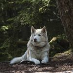 From Siberia, with Love! The Siberian Husky Quiz