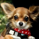 The Ultimate Chihuahua Quiz | Dogs Quiz