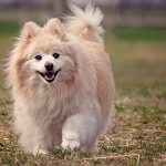 As Cute As a Button – The Ultimate Pomeranian Quiz