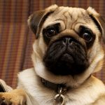 QUIZ: How Well Do You Know Your Pug? | Pug Quiz – 30 Q