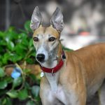 QUIZ: How Well Do You Know Greyhound? | Greyhound Quiz – 30 Q