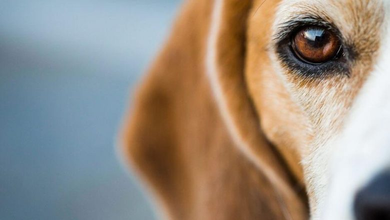 22 Cool Facts About Beagles Dogs You Probably Didn't Know!