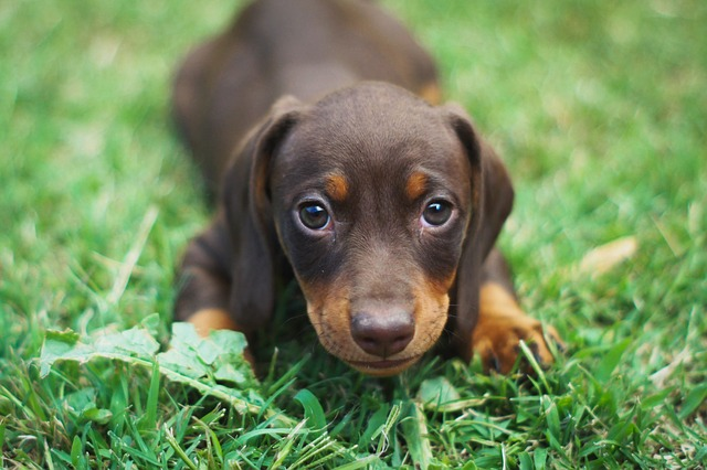 QUIZ: How Well Do You Know Dachshund? | Dachshund Quiz – 30 Q