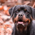 QUIZ: How Well Do You Know Rottweiler Quiz? | Rottweiler Quiz – 30 Q