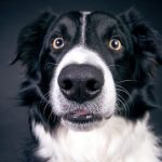 QUIZ: How Well Do You Know Border Collie? | Border Collie Quiz – 30 Q