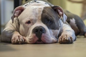dog breeds for depression