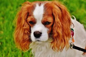 should i get a cavalier king charles spaniel quiz