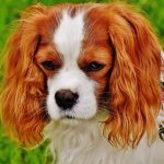 QUIZ: How Well Do You Know Cavalier King Charles Spaniel Quiz? | CKCS Quiz – 30 Q