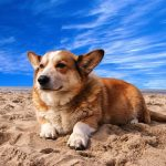 QUIZ: How Well Do You Know Corgi Quiz? | Corgi Quiz – 30 Q
