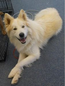 is a samoyed right for me