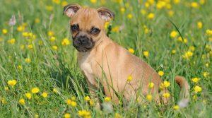 Jack Russell Terrier quiz