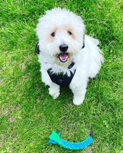 shetland sheepdog quiz