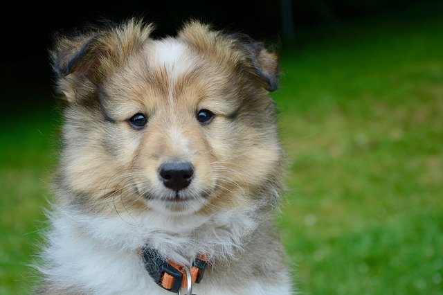 shetland sheepdog mixes
