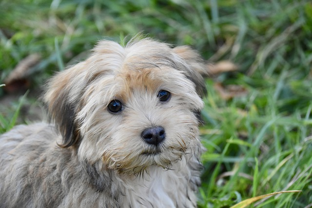 should i get a havanese puppy