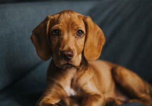 Vizsla Beagle Mix (Vizsla and Beagle)