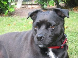 staffordshire bull terrier mix breed