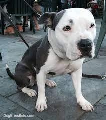pitbull cross german shepherd