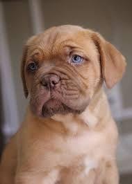 Dogue de Bordeaux x Boxer mix = Dogue de Boxer