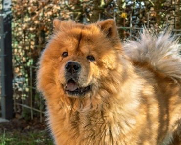 is a chow chow right for me quiz
