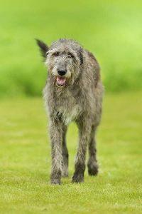 irish wolfhound quiz