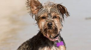 Griffonshire - Yorkshire Terrier and Brussels Griffon