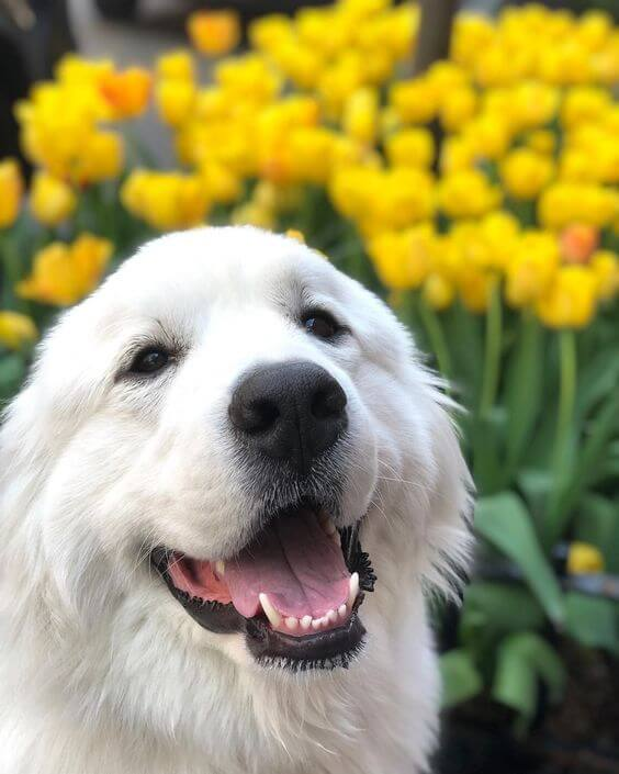 great pyrenees information