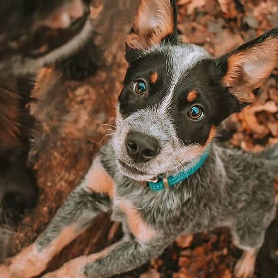 australian cattle dog breed facts