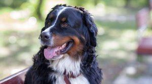 Labernese - Bernese Mountain Dog and Labrador Retriever