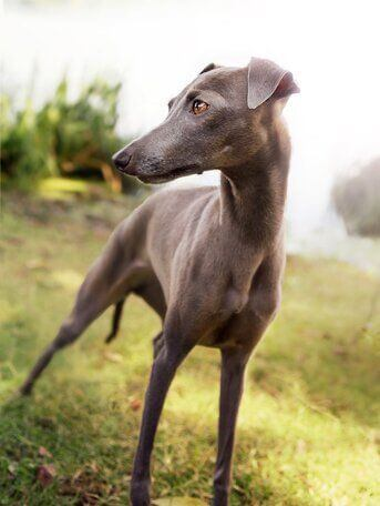 whippet facts and information