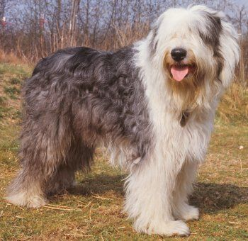 is an old english sheepdog right for me