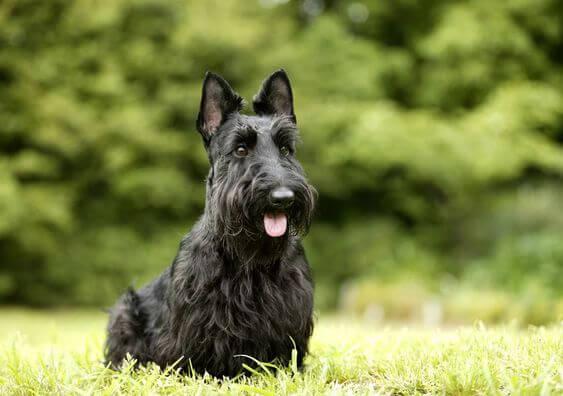scottish terrier trivia