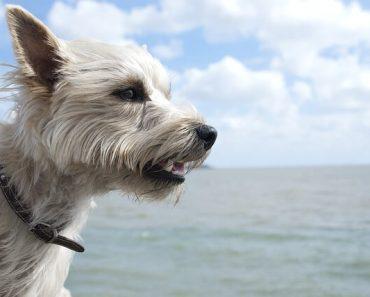 cairn terrier buzzfeed