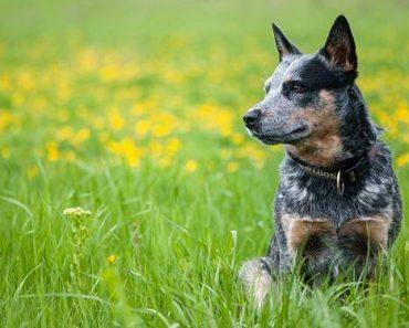 australian cattle dog facts