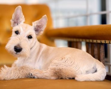 is a scottish terrier good for me quiz