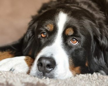 bernese mountain dog quiz