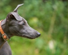 how well do you know Whippet