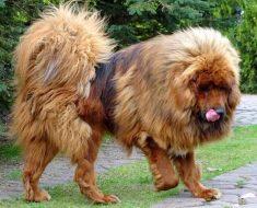 tibetan mastiff quiz
