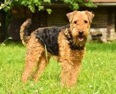 airedale terrier facts
