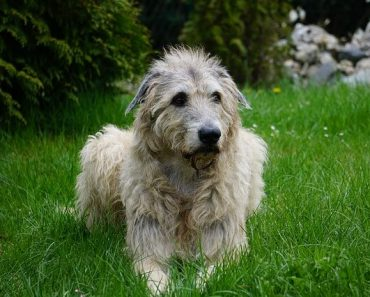is an irish wolfhound right for me