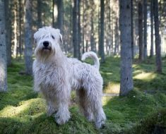 is a soft coated wheaten terrier right for me
