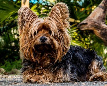 yorkshire terrier quiz