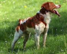 brittany dog quiz