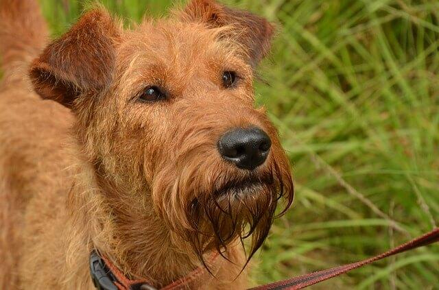 irish terrier facts